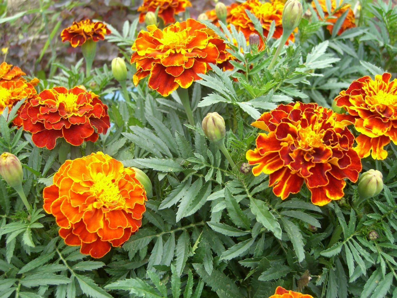 Цветы бархатцы отклоненные фото на